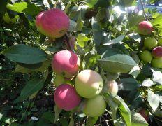 """В обществе """"Плодовое"""" приступили к сбору яблок летних сортов.."""