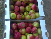 """В ООО """"Плодовое"""" идет сбор летних сортов яблок."""
