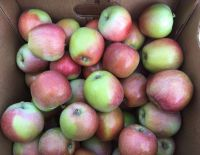 """В ООО """"Плодовое"""" начался сбор урожая осенних яблок """"Либерти"""""""