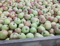 """В ООО """"Плодовое"""" начался сбор урожая яблок под закладку"""