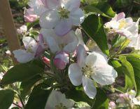 Зацвели яблоневые сады