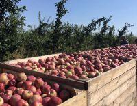 Полным ходом идет уборка яблок в саду....
