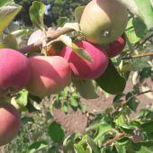 Apples of 2018 harvest