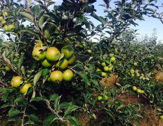 Picking apples Alenushkinoy scheduled for July 28