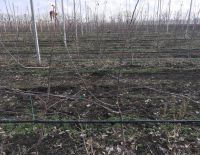 Pruning and tying of apple trees branches is in process at the 47 quarter