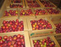 "In a society ""Fruit"" began collecting plum and cherry plum"